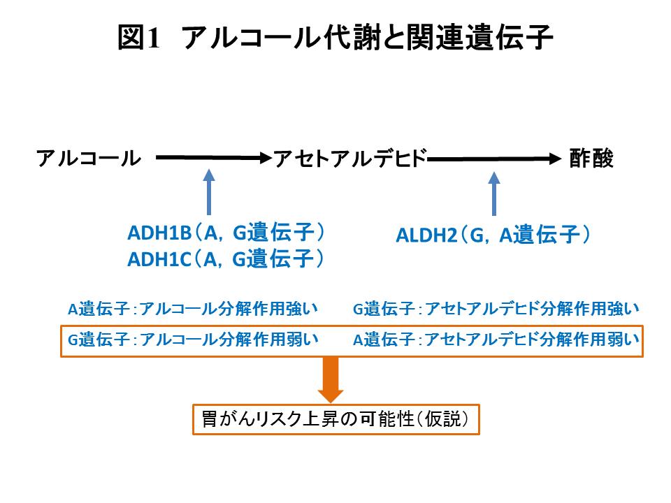 アルコール代謝関連遺伝子(アル...